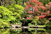 Photo showing a tranquil scene in an oriental Japanese garden, with red and green maples (acer palmatum) reflecting on the still surface of a large koi carp pond.  A waterfall is shown trickling into the pond, in between the maples.