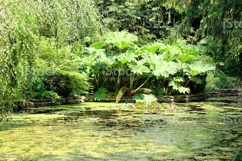 Image of garden pond with water lilies, gunnera, duckweed, birch stock photo