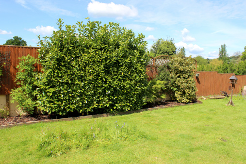 Image of garden with laurel hedges, wooden fence and lawn