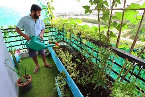 Stock photo showing raised bed, vegetable garden on apartment balcony in Ghaziabad, India with yard long bean plants, potatoes and herbs. Gardening and exterior design concept.