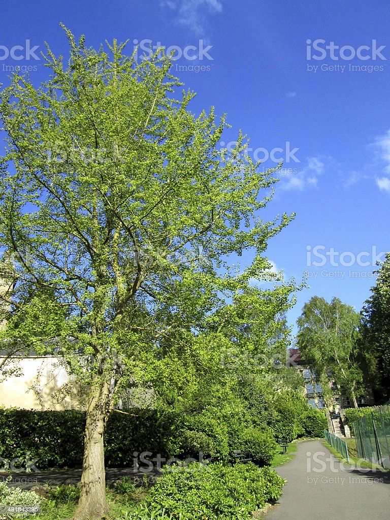 Image of ginkgo biloba tree (maidenhair fern tree) leaves, branches royalty-free stock photo