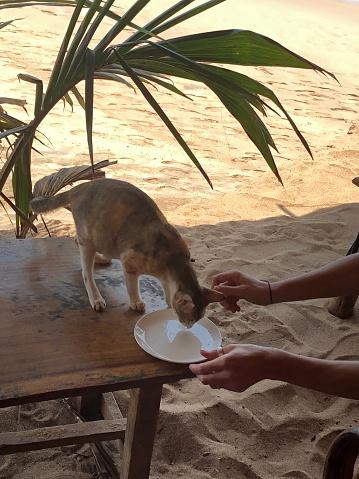 Image of Goan bar cat / kitten drinking water from a plate, Palolem Beach, Goa, India