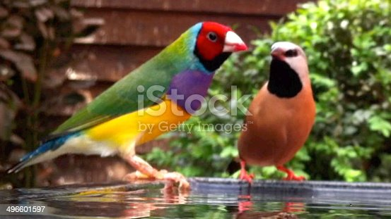 Photo showing a male red-head Gouldian finch in a planted aviary, perched on the side of a bird bath with a sleek Parsons finch looking directly at it.  This is a red-headed, purple fronted normal Gouldian.
