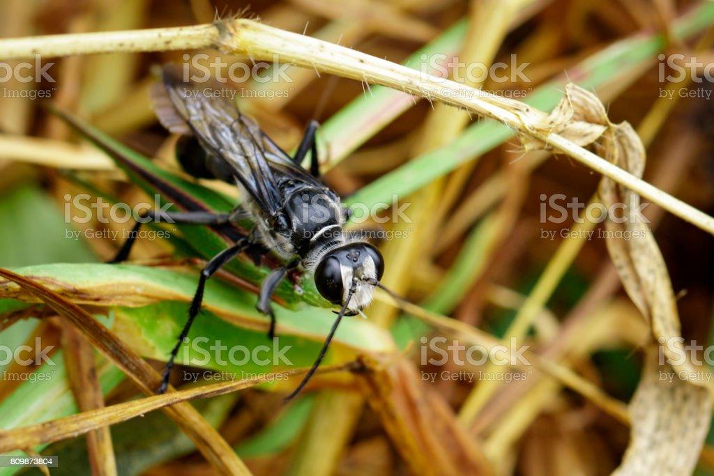 Bild Der Große Schwarze Wespe Grasshopper Essen Insekten Tiere