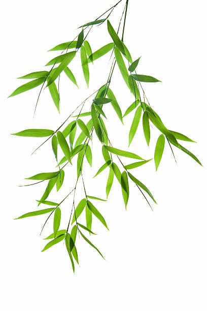 branch von Bambus – Foto
