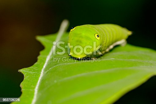 Image of Green Common Jay caterpillar (Graphium doson evemonides) on green leaf. Insect. Insect. Animal.