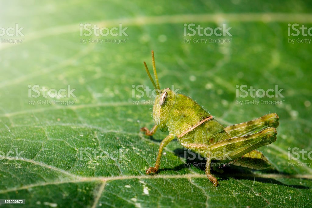 Image of Green little grasshopper on a green leaf. Insect. Animal stock photo