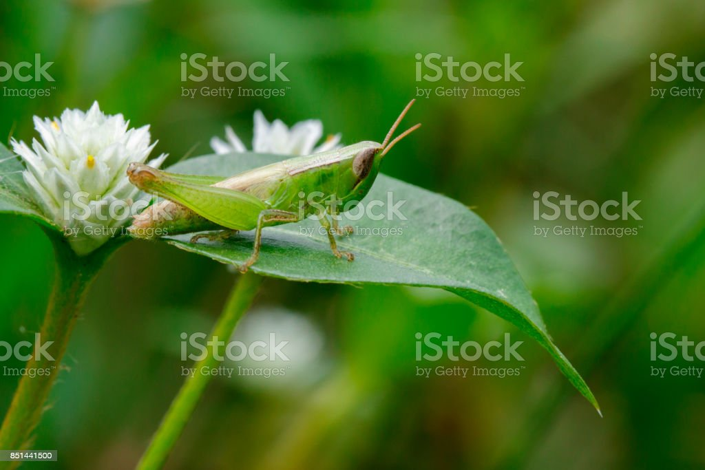 Image of green locust on green leaves. Insect Animal. (Caelifera., Acrididae) stock photo