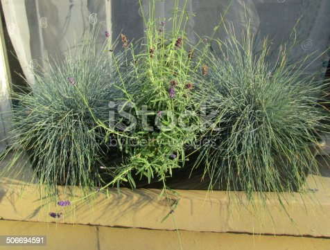 Photo showing a green plastic windowbox that has been planted with silver grasses (Blue Fescue / Festuca glauca cinerea 'Elijah Blue') and flowering English lavender (Lavandula angustifolia 'Hidcote').  The windowbox is pictured standing on a Bath stone windowsill, outside a wooden window that has been painted white in colour.