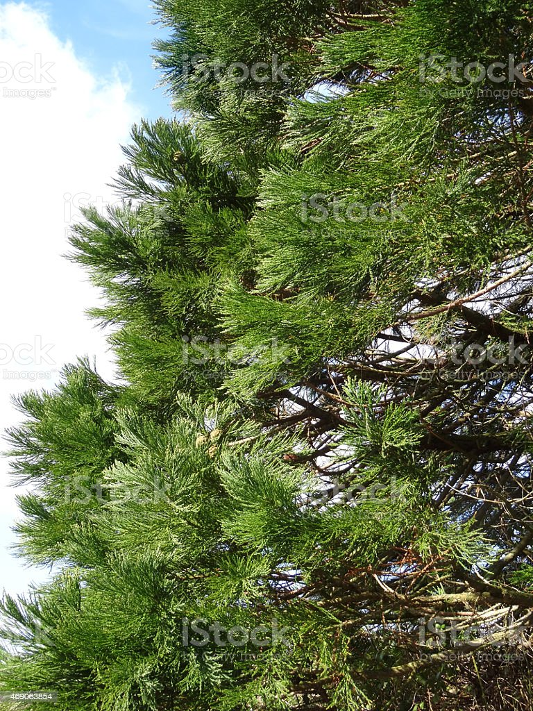 photo de image de vert redwood branches closeup jeune arbre - image