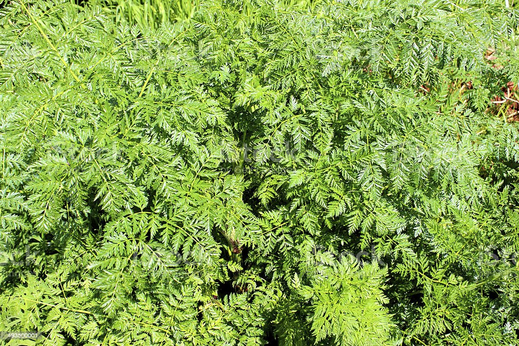 Image of green Spreading Chervil leaves (Chaerophyllum procumbens) in spring stock photo