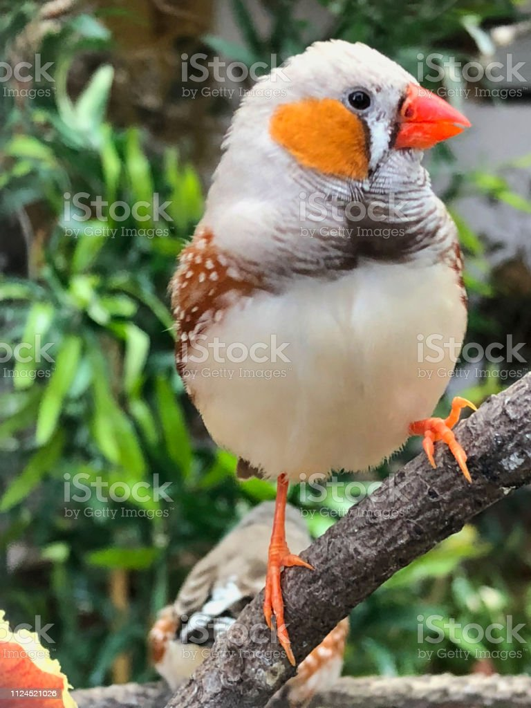 This cock Zebra finch is housed in the aviary found at Pine Walk in...