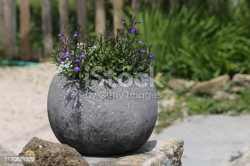 Stock photo of grey round ball shaped stone granite flower pot in circular sphere shape, planted with flowering trailing blue lobelia flowers and white alyssum in bloom, blurred summer gardening green background, globe plant pot planted annual bedding plants