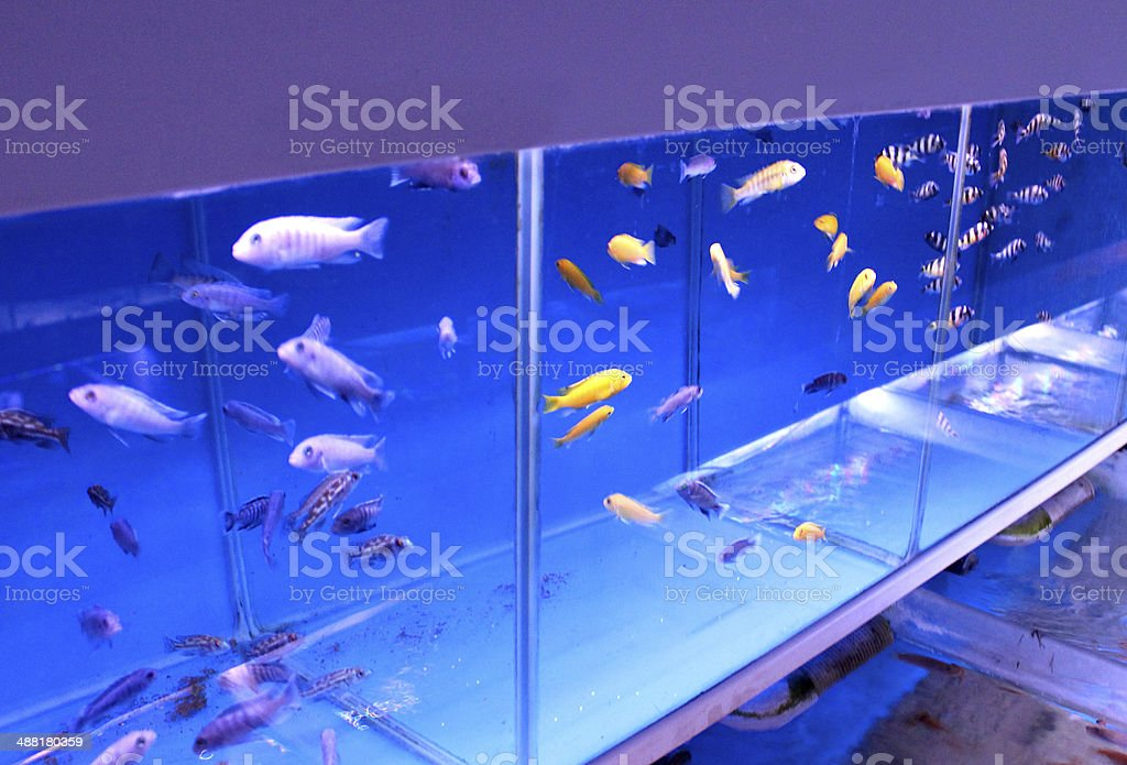Image of group of aquariums / fish tanks with Malawi cichlids stock photo