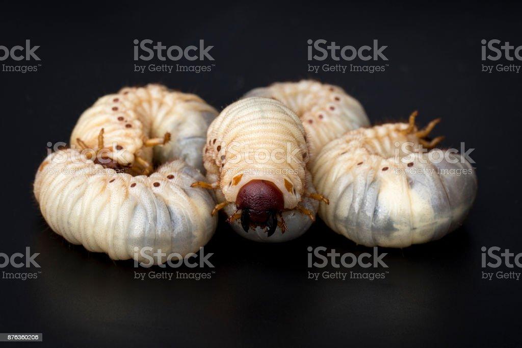 Image Of Grub Worms Coconut Rhinoceros Beetle Larva On Black