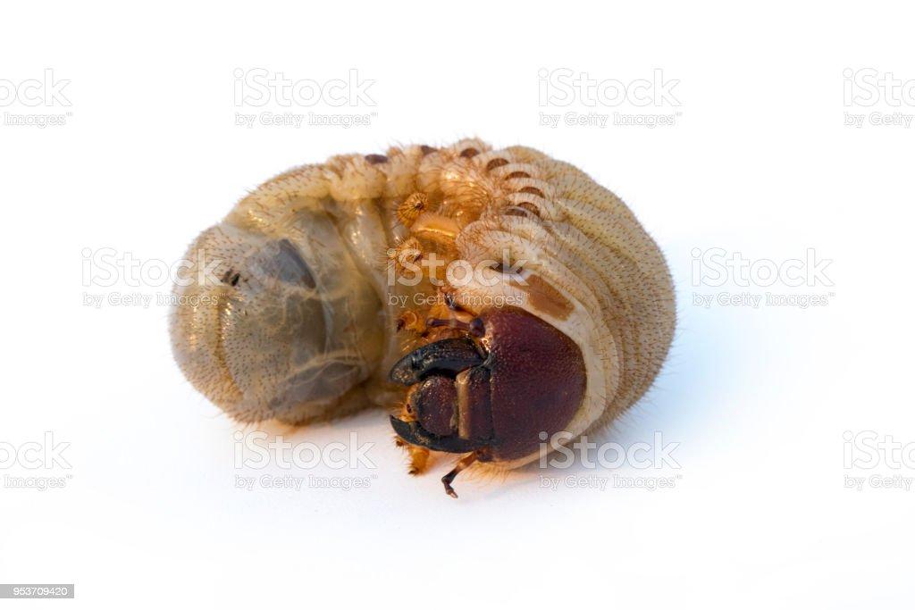 Image Of Grub Worms Coconut Rhinoceros Beetle Larva On White