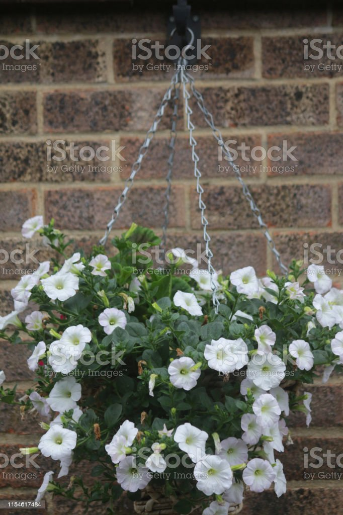 Image Of Hanging Basket With White Petunias In Flower Healthy