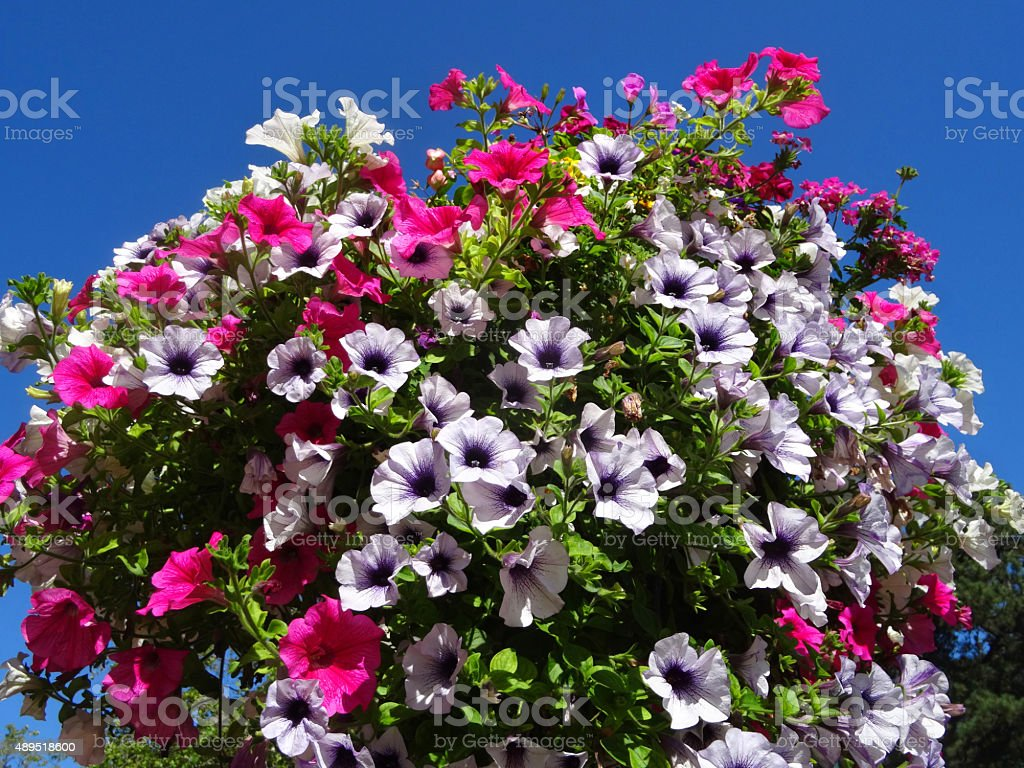 Image of hangingbasket with pink white and purple petunia flowers image of hanging basket with pink white and purple petunia flowers royalty free mightylinksfo