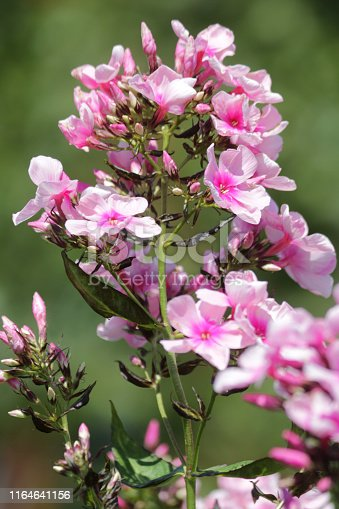 Stock photo of tall Phlox paniculata 'Pink Eye Flame' plant spike, herbaceous perennial flowering with pink flowers growing on tall stem for wild flower and wildlife gardens wanting to attract insects, butterflies and honey bees for pollination