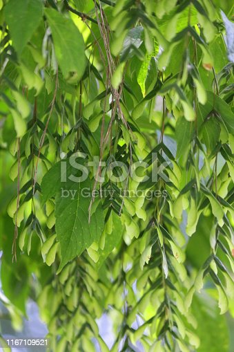 Stock garden photo of maple seeds growing underneath the green leaves of acer platanoides 'Drummondii / Japanese maple tree, famous for its autumn fall colours and similar to Norway maple with blurred background