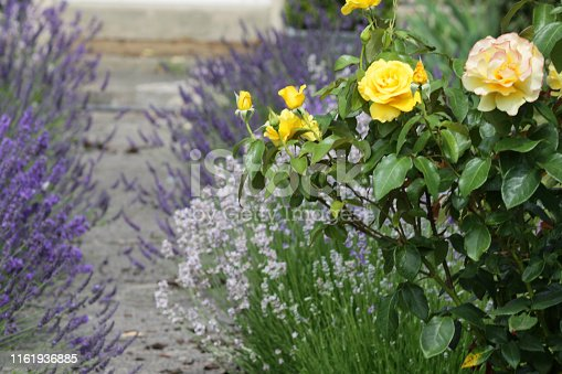 Stock photo of healthy English rose bush with yellow flowers in full bloom, white and lilac purple English lavender flowers and French lavender plants lining concrete pathway leading to front door in garden, flowering lavenders overgrown path, Lavandula shrubs