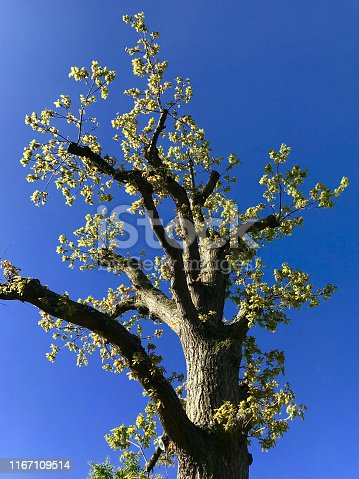 Stock photo of healthy mature common English oak tree after heavy pruning and pollarding by tree surgeon / quercus robur pruned and pollarded in spring with new green shoots, oak leaves and foliage, deciduous winter structure of English oak in woodland garden