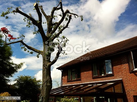 Stock photo showing healthy mature common English oak tree after heavy pruning and pollarding by tree surgeon / quercus robur pruned and pollarded in spring with green shoots, oak leaves and foliage, deciduous winter structure of English oak in woodland garden