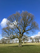 Stock photo of healthy mature common English oak tree / quercus robur growing in spring with bare winter branches without leaves, deciduous winter structure of English oaks in woodland garden field / landscaped park, isolated against blue sky clouds
