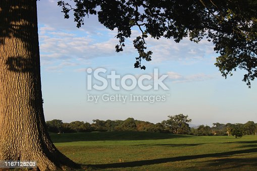 Stock photo of healthy mature common English oak tree / quercus robur growing in summer with branches hidden by green leaves and acorns, deciduous structure of English oaks in full leaf growing in woodland garden field / landscaped park, against blue sky clouds