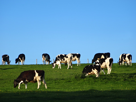 Image of Holstein Friesian cattle / cows in dairy farm field