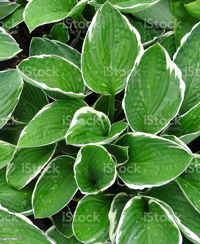 Image Of Hostas With Variegated Leaves Shadeplant With Attractive