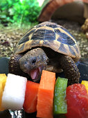 Image of hungry young baby Russian Horsefield diet / Hermann's tortoise food, feeding and eating fresh salad and vegetable kebab with apple, watermelon, peppers, carrot as healthy pet tortoises diet guide and caring, close-up of head, open mouth and tongue biting on vegetation