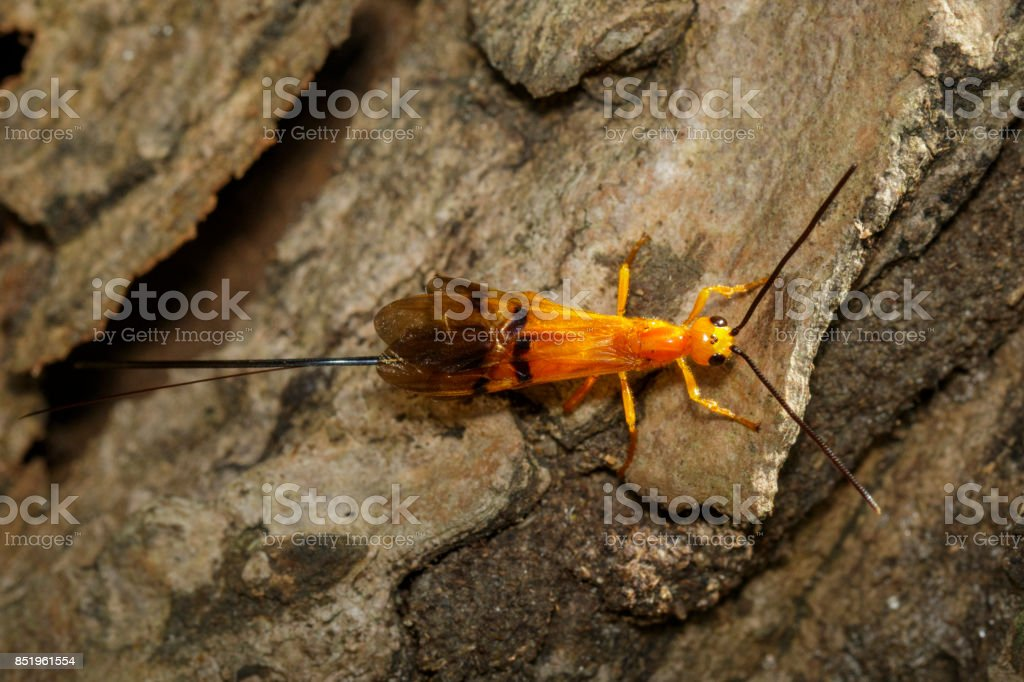 Image of Ichneumon wasp on the tree. insects. Animal stock photo