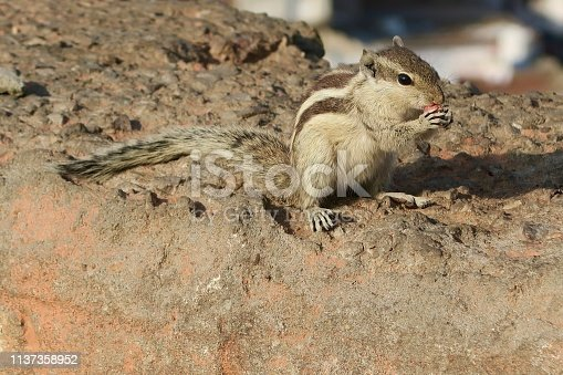Photo showing an Indian palm squirrel or three-striped palm squirrel (Funambulus palmarum), pictured eating a nut sat on top of stone wall.