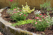 Stock photo of informal raised garden bed with dry stone wall, planted with summer flowers and daises growing in flower border, red pink osteospermum / wild argyranthemum marguerite daisy plants, trailing groundcover plants, evergreen shrubs, chipped bark mulch