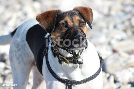 Photo showing a small brown (brindle), black and white Jack Russell terrier dog, which has been pictured playing on a pebbly beach in the sunshine.  The dog is wearing a harness lead and collar, with a flexible, adjustable muzzle on its mouth / nose, to stop it possibly biting children and other passersby on the beach.