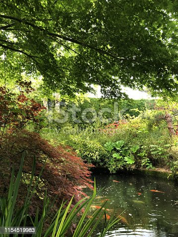 Stock photo of Japanese garden and koi pond in rain, raining on koi carp fish pond water surface in landscaped oriental Zen garden with green and purple red Japanese maples / acer palmatum trees, fish swimming / feeding with marginal plants, flag iris, lilies