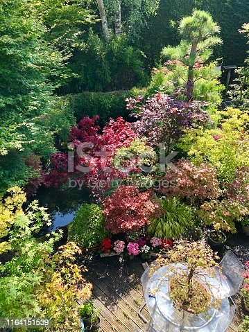 Photo showing a small, landscaped Japanese garden with many oriental elements.  These include a selection of different varieties of Japanese maple (acer palmatum - red, green, yellow and dissected), bonsai trees, granite lanterns, bamboo, a koi pond, stepping stones and clipped azaleas (rhododendrons).  Wooden decking has been used to create a patio area for eating outside.