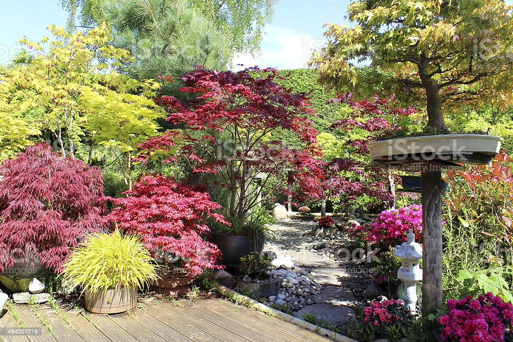 Image of Japanese garden with bonsai trees, maples (acers), decking royalty-free stock photo