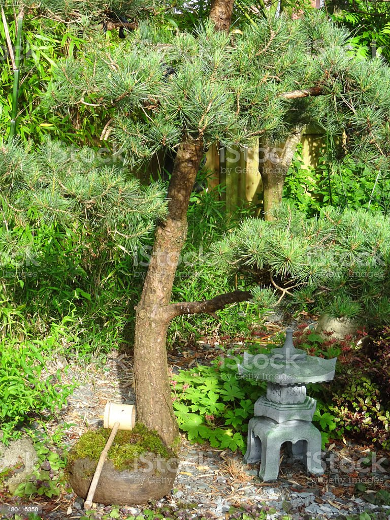 Image Of Japanese Garden With Pine Tree, Stone Water Basin, Lantern Royalty