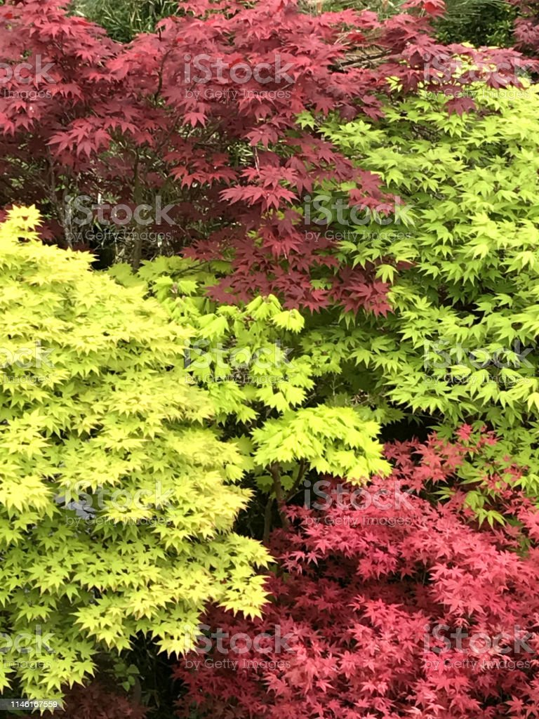 Stock photo showing a large and impressive from of Japanese maples...
