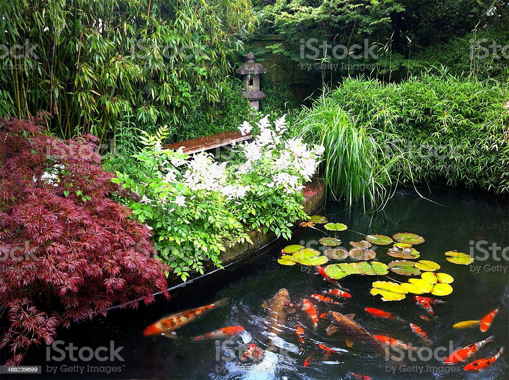 image of koi pond in a domestic japanese style garden royalty free stock photo