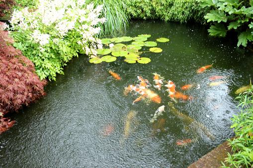 Image of koi pond in rainy weather koi carp feeding stock for Koi pond temperature