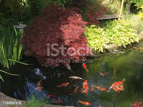 Stock photo of koi pond with large koi carp fish swimming around in filtered water. This  landscaped Zen Japanese garden is covered with maples / acers, lanterns, bamboo and brick edging to pond water feature
