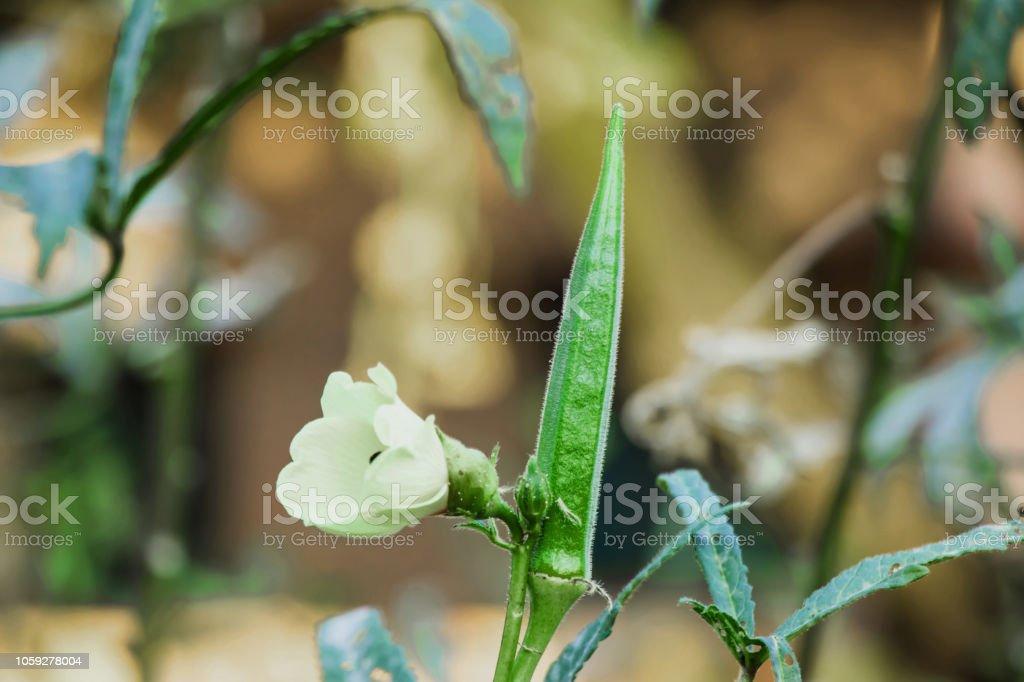 Ladies finger plant