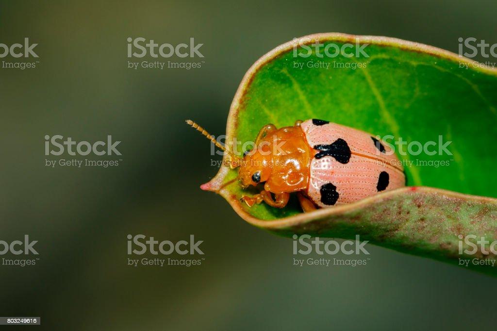 Image of Ladybird beetles or Ladybugs on green leaves. Insect Animal. stock photo
