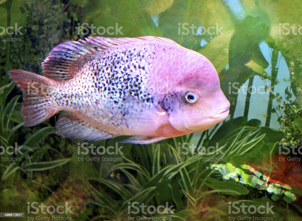 Image of large aggressive cichlid in tropical fish tank for Large aquarium fish