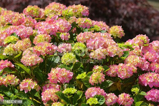 Stock photo of large cream and pale pink mophead hydrangea macrophylla pia shrub bush covered with flowers, petals and flowerbuds opening, isolated against green leaves gardening background, pink flowering hydrangeas growing in sunny summer garden and acid soil