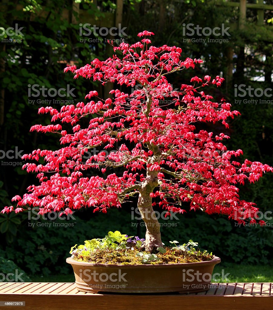 Image of large Japanese maple bonsai tree with red leaves stock photo