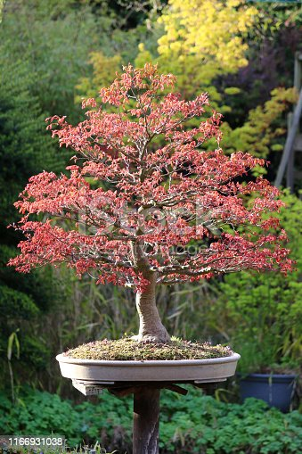 Stock photo of large mature old Japanese maple bonsai tree growing in oriental garden on individual wooden plinth stand post with spring leaves, acers / acer palmatum bonsai tree informal upright style with red spring foliage in sunshine, cream glazed oval pot